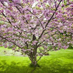 Ten okaz wiśni japońskiej rośnie przed budynkiem Dawnej Biblioteki. Drzewo dorasta do 10 metrów, a parasol biało-różowych kwiatów może być szeroki nawet na 8 metrów. Fot. M. Kaźmierczak