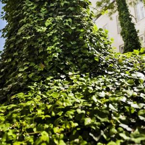 W zielonym zakątku za Wydziałem Historycznym, gdzie od 2011 roku stoi nowy budynek, rosną grochodrzewy popularnie zwane akacjami. Drzewa obficie porośnięte są bluszczem pospolitym. Fot. M. Kaźmierczak