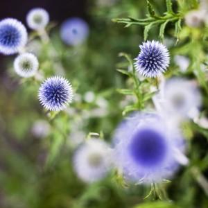 Takie piękne przegorzany można spotkać w Ogrodzie Botanicznym UW. Fot. M. Kaźmierczak