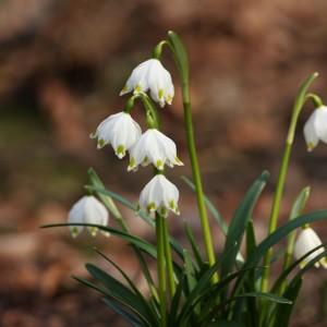 Śnieżyca wiosenna. Fot. Ogrod Botaniczny UW
