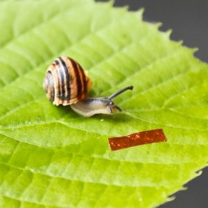 Robota-ślimak obok żywego ślimaka ogrodowego (Cepaea hortensis). Źródło: Wydział Fizyki UW
