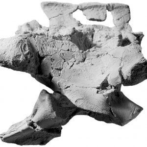 Miednica Silesaurus (niekompletna).