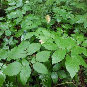 Podagrycznik (Aegopodium podagraria) jest azotolubnym gatunkiem, który szybko opanowuje żyzne siedliska. Fot. Olga Cholewińska