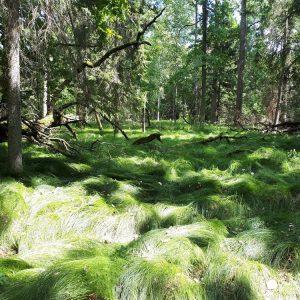 Turzyca drżączkowata (Carex brizoides) łatwo opanowuje dno lasu, zarówno wewnątrz naturalnego zasięgu, jak i poza jego granicami. Fot. Olga Cholewińska