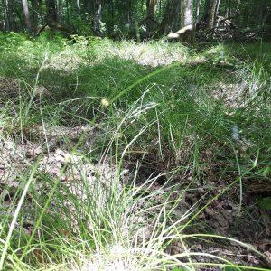 Turzyca odległokłosa (Carex remota) występuje w wilgotnych żyznych lasach liściastych (grądach) i jest jednym z gatunków wykazujących tendencję do ekspansji. Fot. Olga Cholewińska
