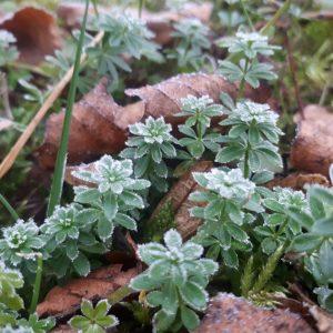 Wiosenne późne przymrozki tworzą piękne scenerie, ale mogą prowadzić do poważnych uszkodzeń roślin. Fot. O. Cholewińska