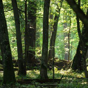 W okresie letnim temperatura pod zwartym okapem lasu może być o kilka stopni niższa niż na otwartej przestrzeni. Fot. I. Smerczyński