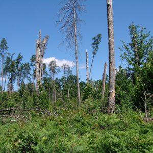 Silne wiatry oraz ataki owadów i grzybów prowadzą do śmierci drzew i przerwania zwarcia drzewostanu, co powoduje nagły wzrost temperatur na dnie lasu. Fot. I. Smerczyński