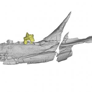 Model trójwymiarowy znalezionej skamieniałości z zaznaczonymi kolorem zębami. Źródło: PNAS.