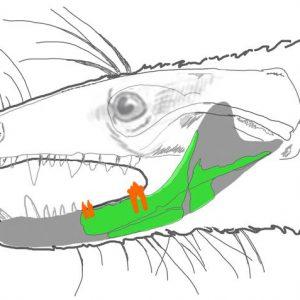 Rekonstrukcja prassaka z zaznaczoną częścią żuchwy, którą udało się znaleźć. Źródło: PNAS.