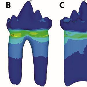 Wyniki badania wytrzymałości zęba dwu- i jednokorzeniowego. Źródło: PNAS.