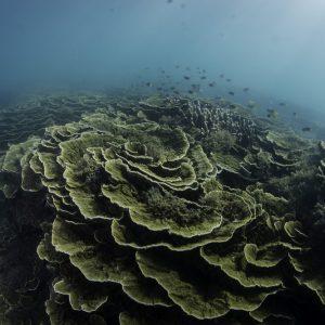 Charakterystyczne dla słabo naświetlonych wód koralowce o listkowatych koloniach z raf barierowych Magnetic Island, Queensland. Fot. Tom Bridge.