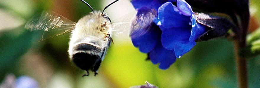 Porobnica wiosenna (Anthophora plumipes) lądująca na miodunce ćmej (Pulmonaria obscura), fot. M. Zych.