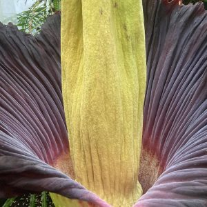 Kwitnienie dziwidła olbrzymiego w Ogrodzie Botanicznym UW.