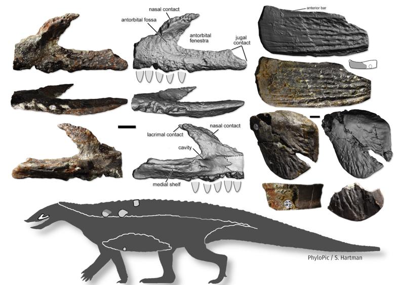 """Szczątki odnalezione na stanowisku w Kocurach. Źródło: """"Journal of Vertebrate Paleontology""""."""