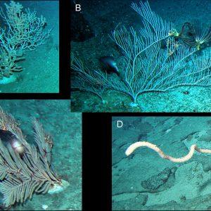 Fot. 2. Koralowce ośmiopromienne z mórz okalających Tasmanię. A–Keratoisis sp.; B–Paracalyptrophora sp.; C–Callogorgia sp.; D–Lepidisis sp.